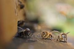 Biene auf dem Flugbrett