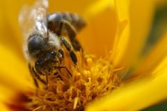 Biene mit gelber Blume