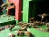 Bienen am Flugbrett