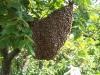 Bienenschwarm an einem Baum